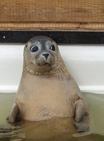 Een foto van een zeehond, met de zeehonden gaat het hartstikke goed
