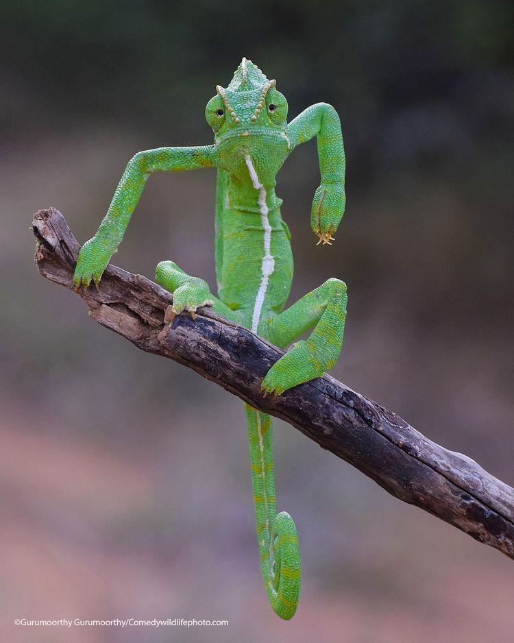 The Green stylist - The Comedy Wildlife Photography Awards 2021 / Gurumoorthy