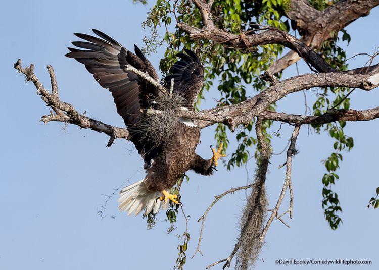 Majestic and Graceful Bald Eagle -The Comedy Wildlife Photography Awards 2021 / David Eppley
