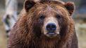 Op deze foto is een bruine beer te zien.