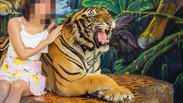Op deze foto zie je en tijger die mishandeld is om met toeristen op de foto te kunnen.