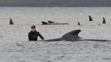 Grote reddingsactie gestrande walvissen loopt voor veel van hen slecht af