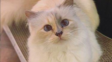 Wat is er gebeurd met de kat van Karl Lagerfeld?