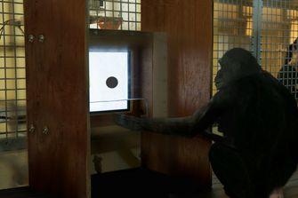 Tinder voor orang-oetans: op zoek naar de ideale aap