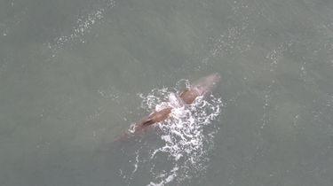 Potvis ligt nog doodstil voor de kust bij Den Helder