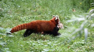 Pasgeboren kleine panda buiten gezien in Artis
