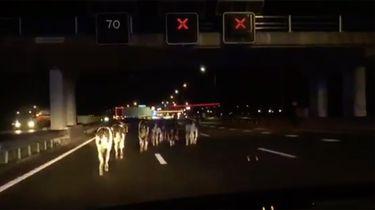 Op deze foto zie je koeien op de snelweglopen