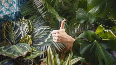 Hittegolf planten