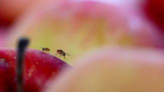 Twee fruitvliegjes op een appel