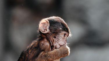 Een foto van een aap. Er zijn zeventig apen ontsnapt uit een dierentuin in Japan. Het gaat om makaken.