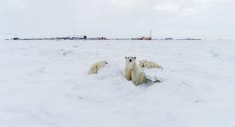 De ijsbeer zoekt steeds meer de dorpen op