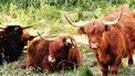 Stel zit urenlang vast in bos vanwege kudde Schotse hooglanders