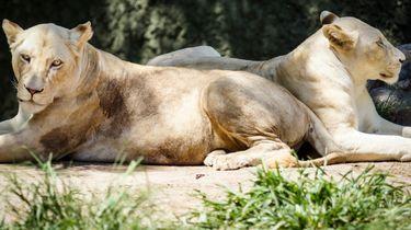 foto van twee leeuwinnen