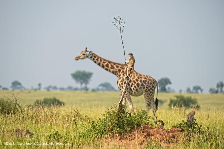 Monkey riding a giraf - The Comedy Wildlife Photography Awards 2021 / Dirk-Jan Steehouwer
