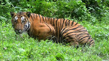 Een Bengaalse tijger, gespot in het Kaziranga National Park in India