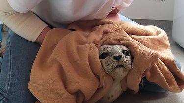 Een foto van de zeehond die bij Kijkduin op het strand lag