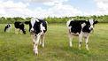 Op deze foto zie je koeien in een weiland.