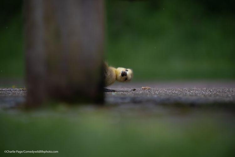 Peekaboo - The Comedy Wildlife Photography Awards 2021 / Charlie Page