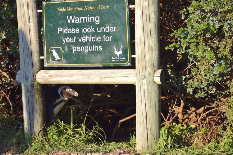 'No penguins under here' © Pearl Kasparian / Comedy Wildlife Photo Awards 2020