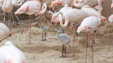 Kleine flamingo's in gaiazoo Limburg