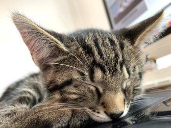 Een foto van het gezicht van een slapende kitten met cypres-tekening