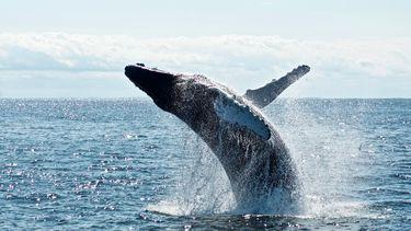 Een foto van een walvis die boven het water uit springt.