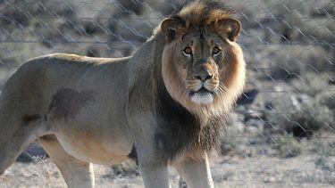 Een foto van een leeuw uit Karoo National Park (niet bekend of het een van de zeven leeuwen is)