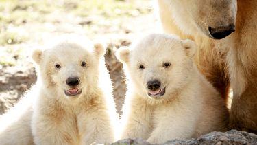 Een foto van twee jonge ijsberen