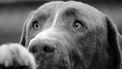 Op deze foto zie je een hond met een verdrietige kop.