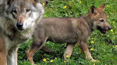 Vermiste wolven slachtoffers van stropers?