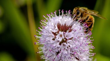 Recordaantal bijen geteld: 'Het gaat niet slecht met de bij'