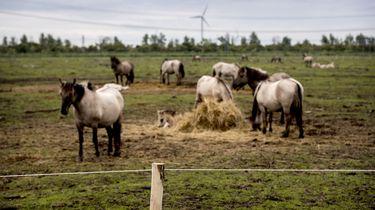 'Paarden Oostvaardersplassen in brandende hitte'
