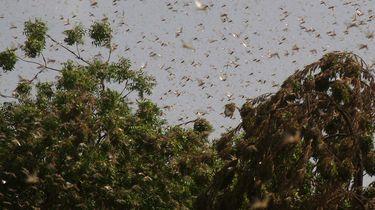 Op deze foto zie je een sprinkhanen plaag in Pakistan zwermen