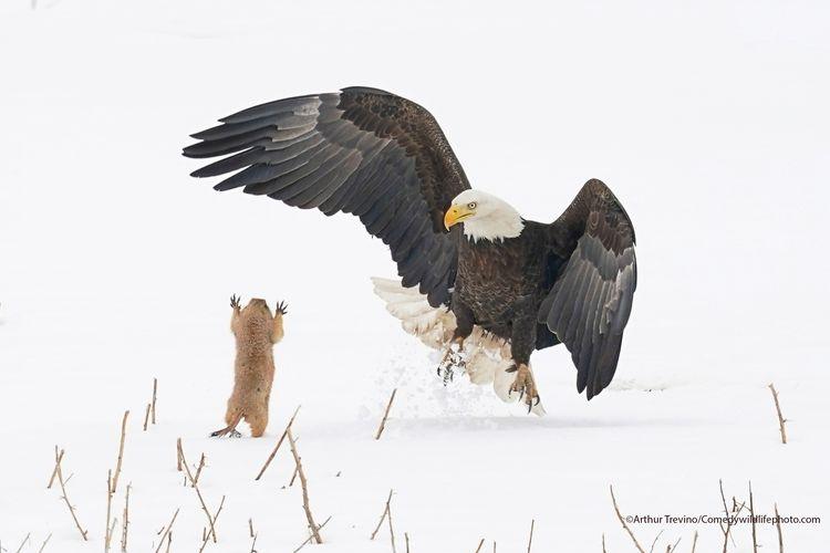 Ninja Prairie Dog! - The Comedy Wildlife Photography Awards 2021 / Arthur Trevino