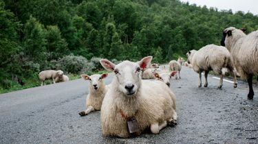 Wilde geiten veroveren verlaten stad in Wales
